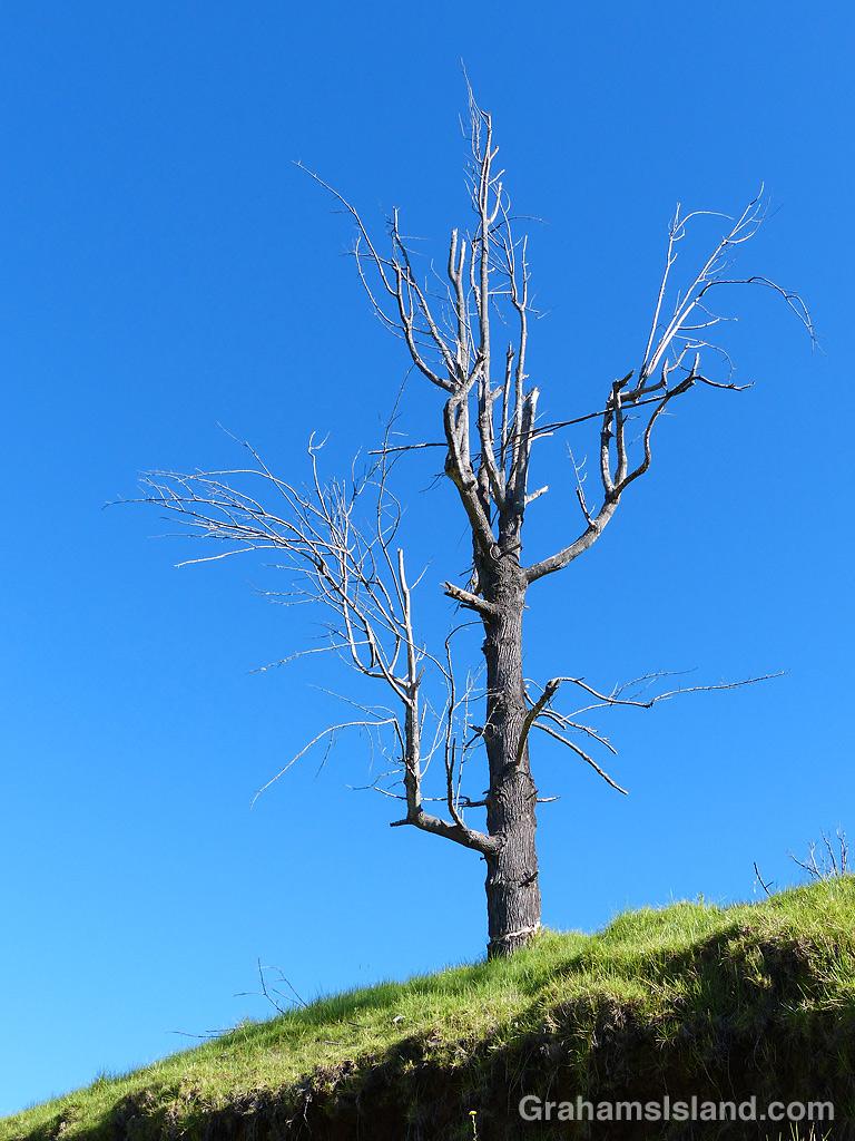 A dead tree stands out on Pu'u Wa'awa'a