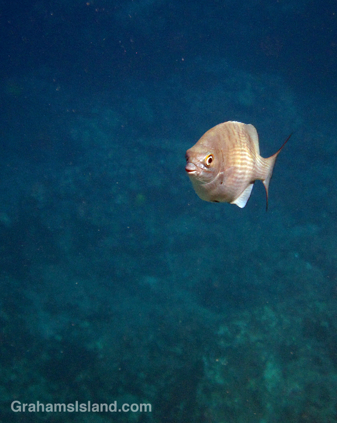 A grey chub swims in the waters off the Big Island of Hawaii.