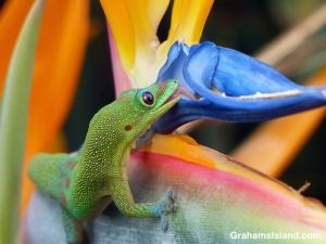 Gold dust day gecko drinks from bird of paradise flower