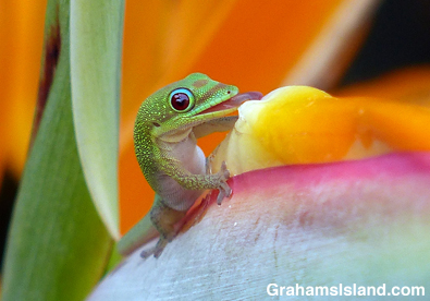 A gold dust day gecko drinks from a bird of paradise flower.