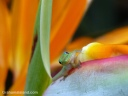 A gold dust day gecko sits on bird of paradise flower.