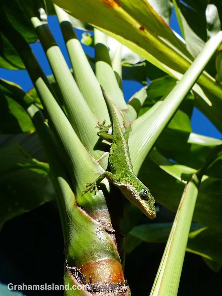 A green anole on a ti plant