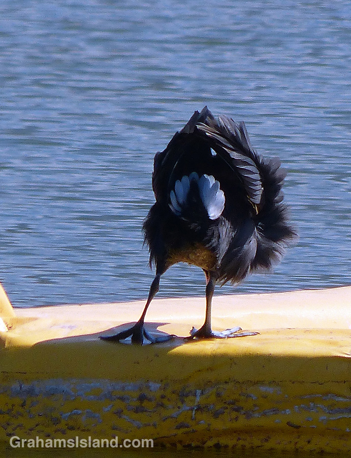 A Hawaiian coot mooning.