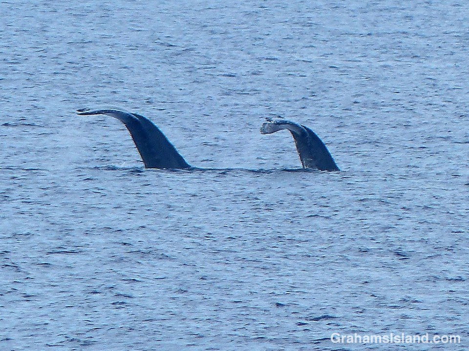 A pair of humpback whales diving