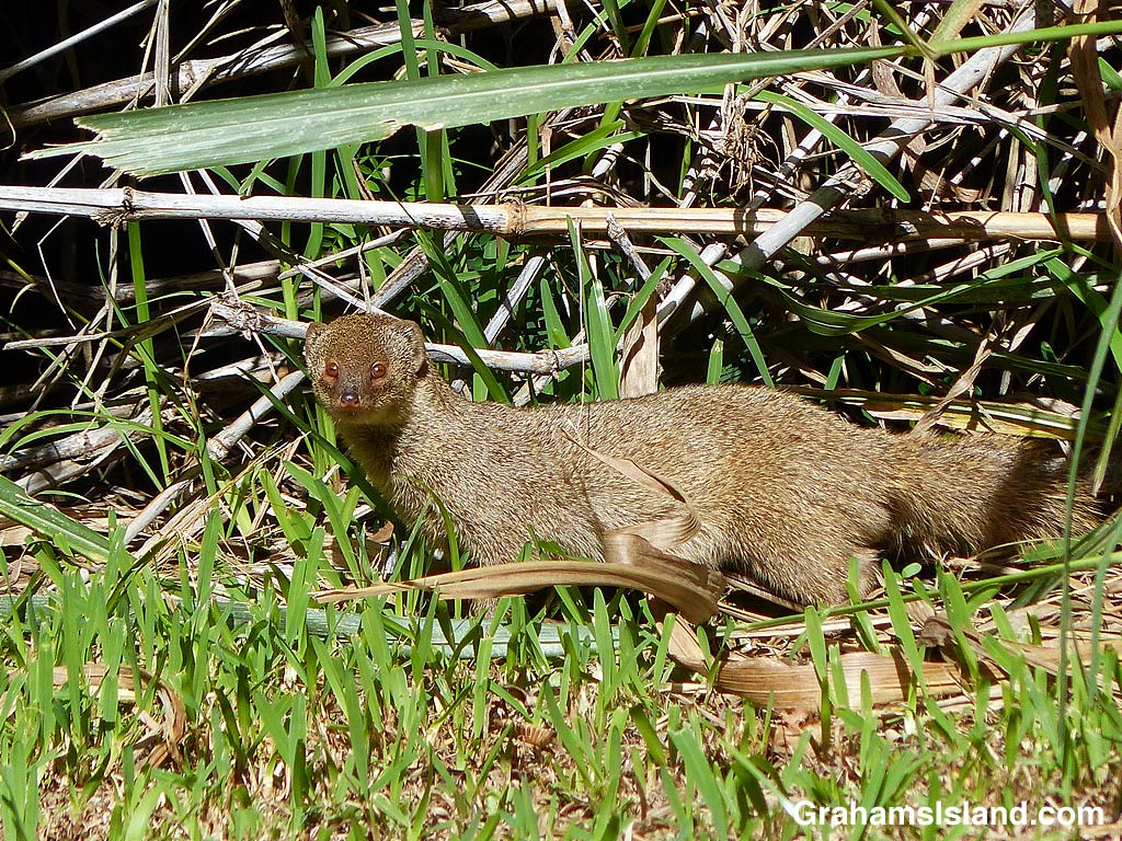 A mongoose stands in the morning sun.
