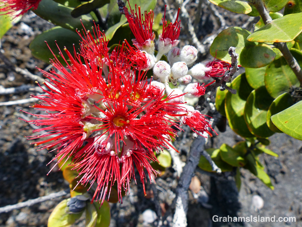 An ohia flower