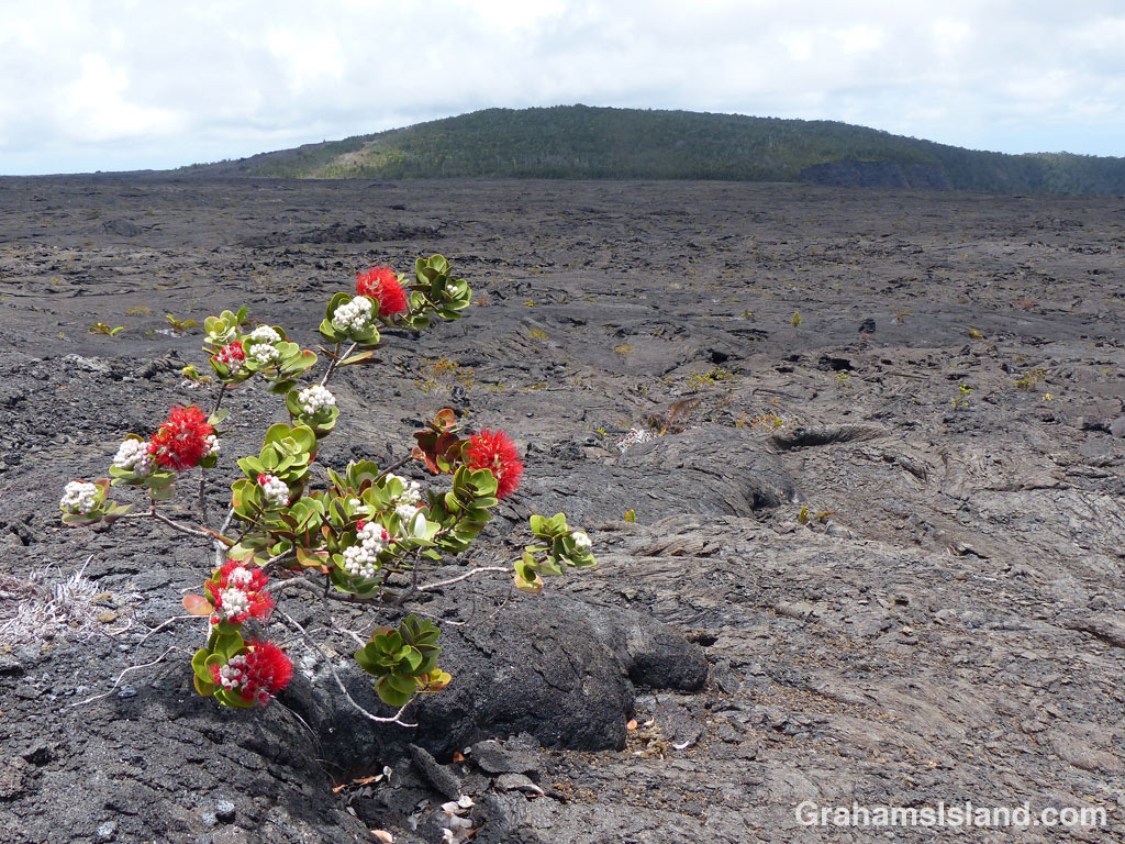 An ohia tree grows in a lava flow