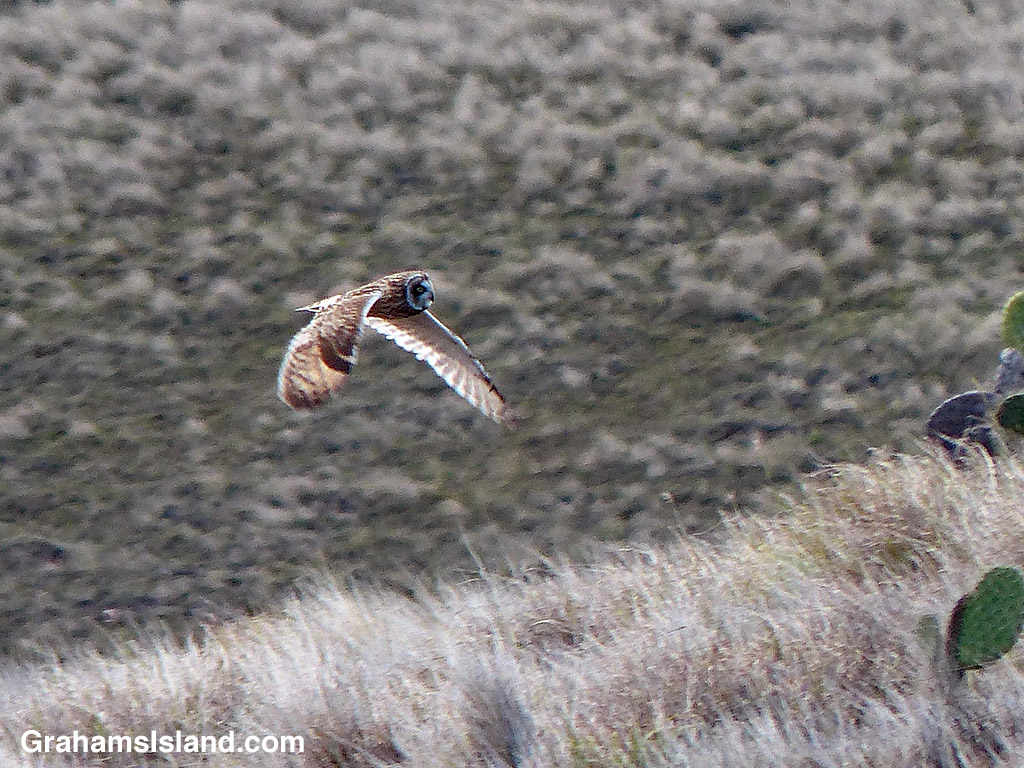 A Hawaiian short-eared owl flies over the ground.