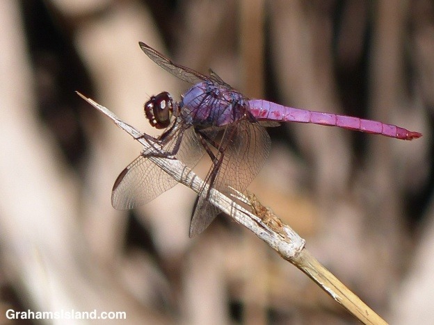 A pink and purple roseate skimmer dragonfly perches on a broken stalk of cane grass.