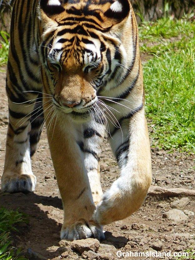 Sriracha, a female Bengal tiger, paces at Pana'ewa Rainforest Zoo in Hilo.