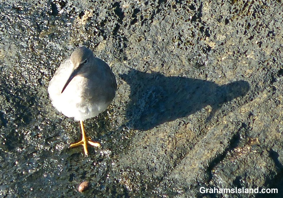 A wandering tattler casts a shadow.