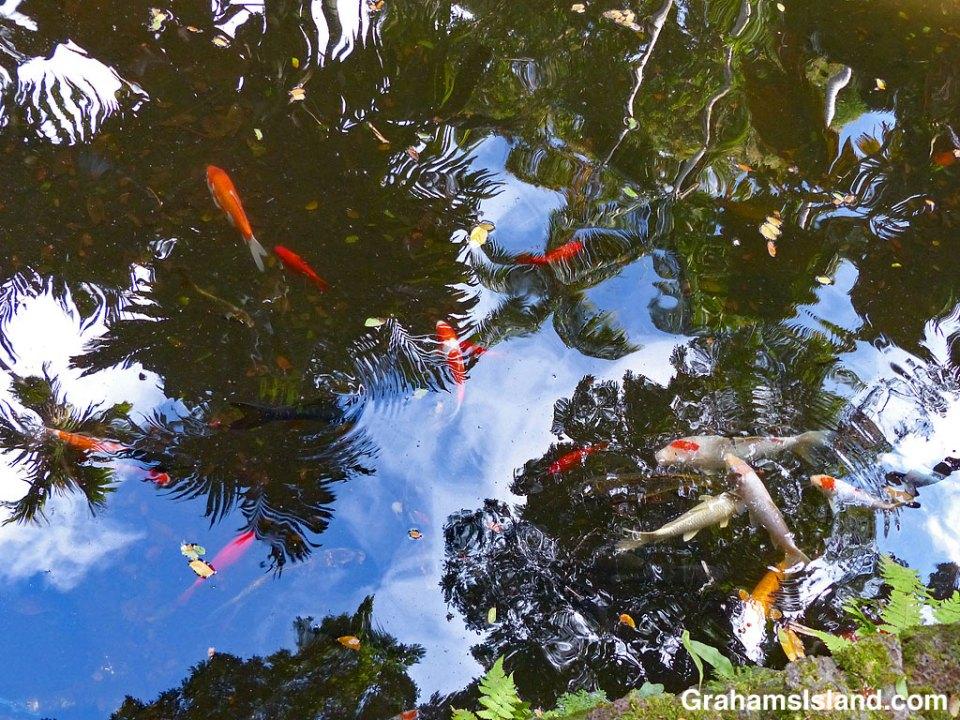Koi swim in Lily Lake at Hawaii Tropical Botanical Garden
