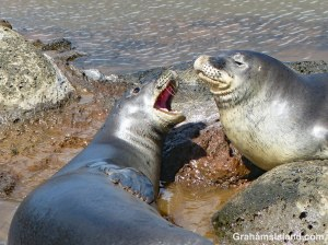 Monk Seal Squabble shop page