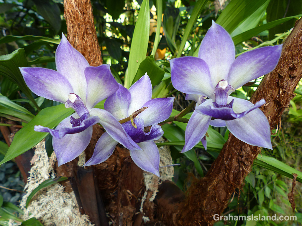 A Zygonisia Cynosure Orchid blooms at Hawaii Tropical Botanical Garden