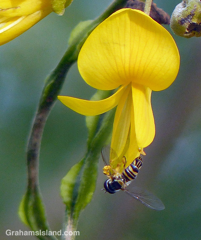 Allograpta obliqua hoverfly