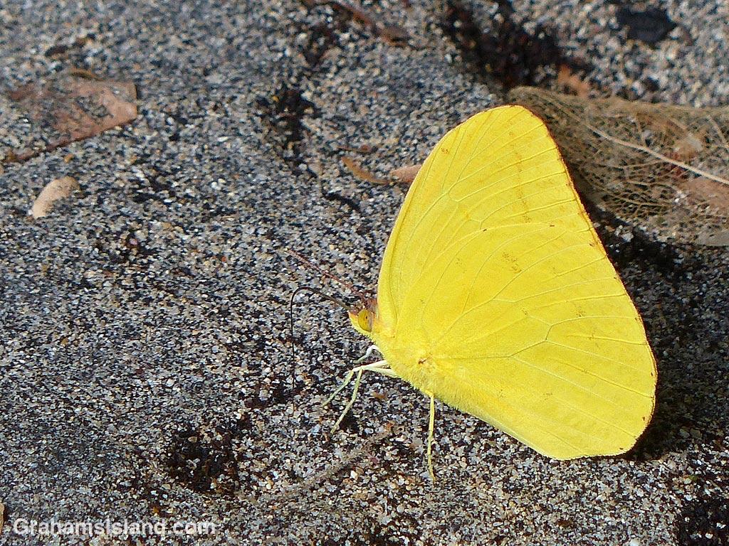 Large Orange Sulphur Butterfly on sand