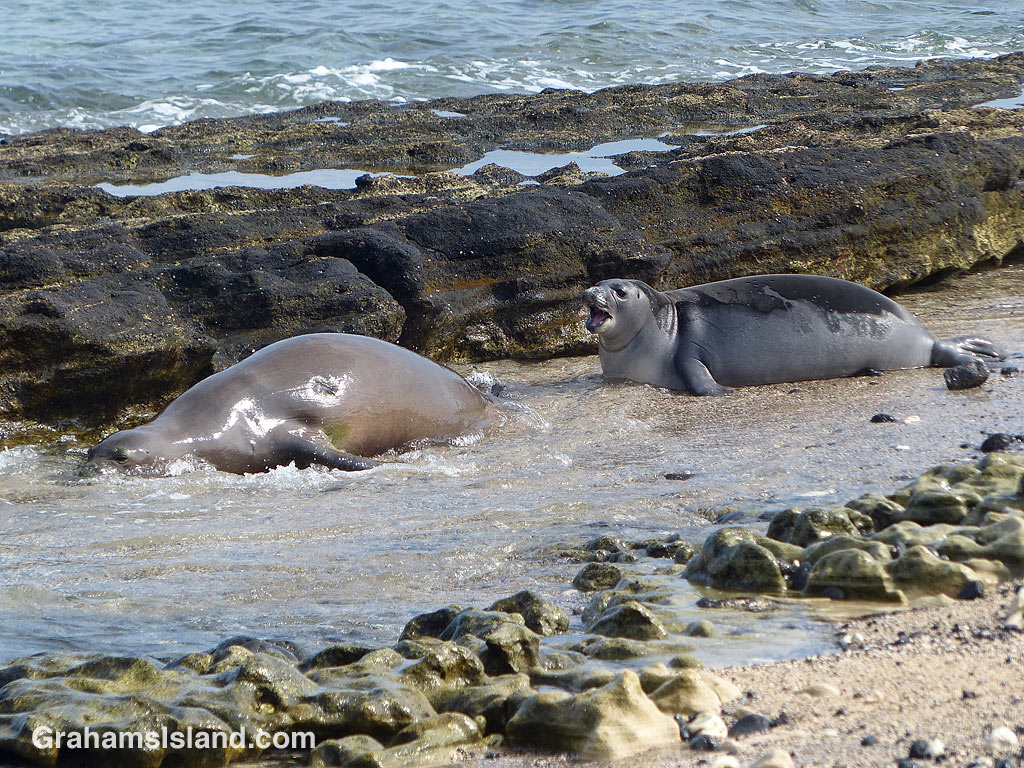 Monk seal and pup enter the water
