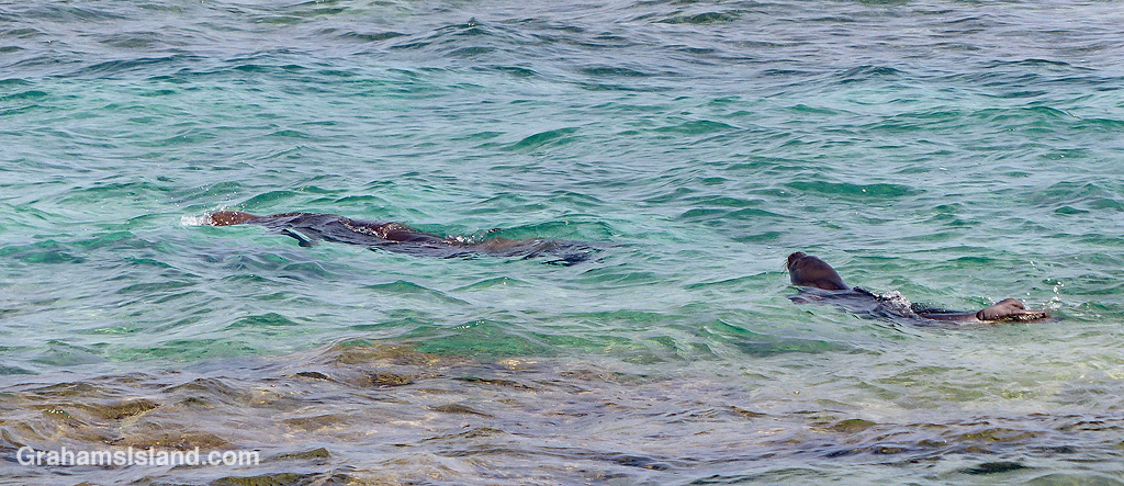Monk seal and pup swimming