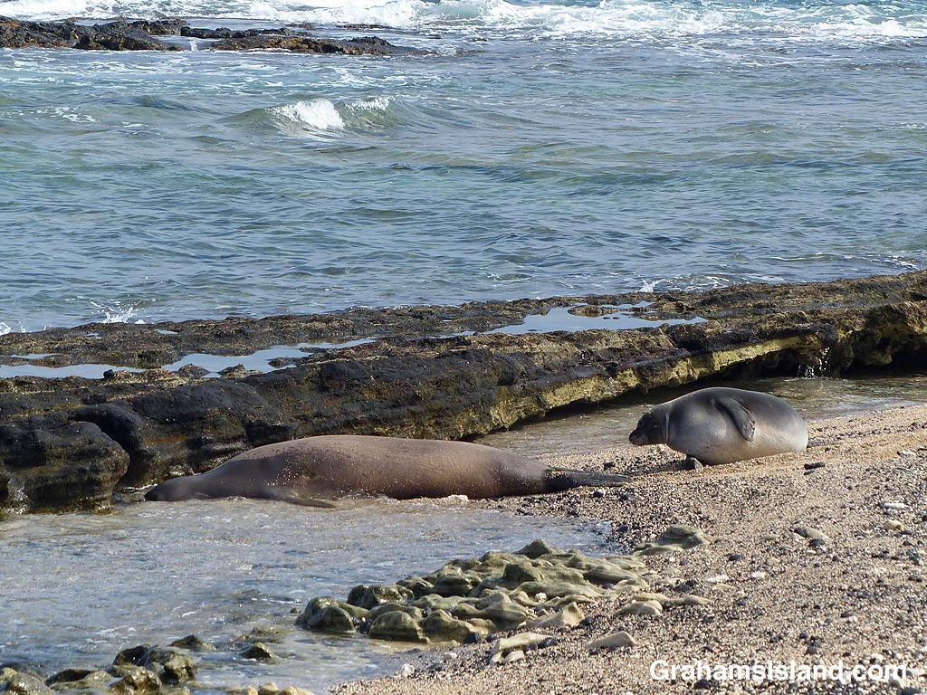 Monk seal and pup