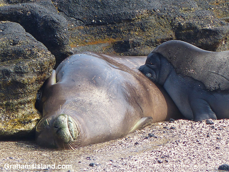 Monk seal pup feeding