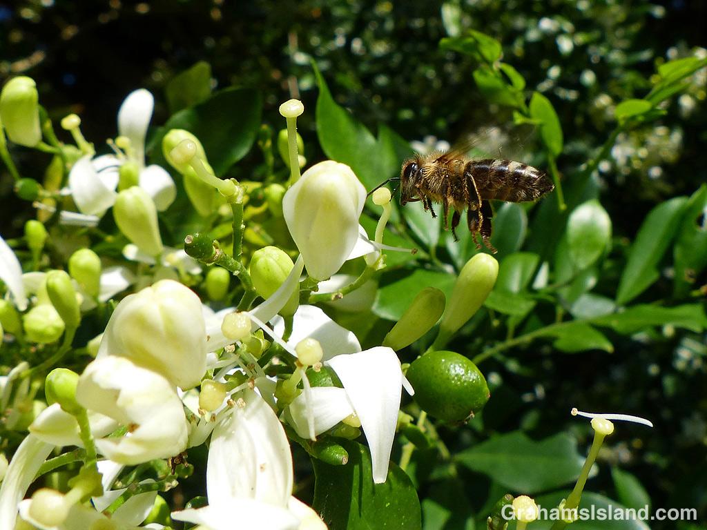 Bee flying to a mock orange
