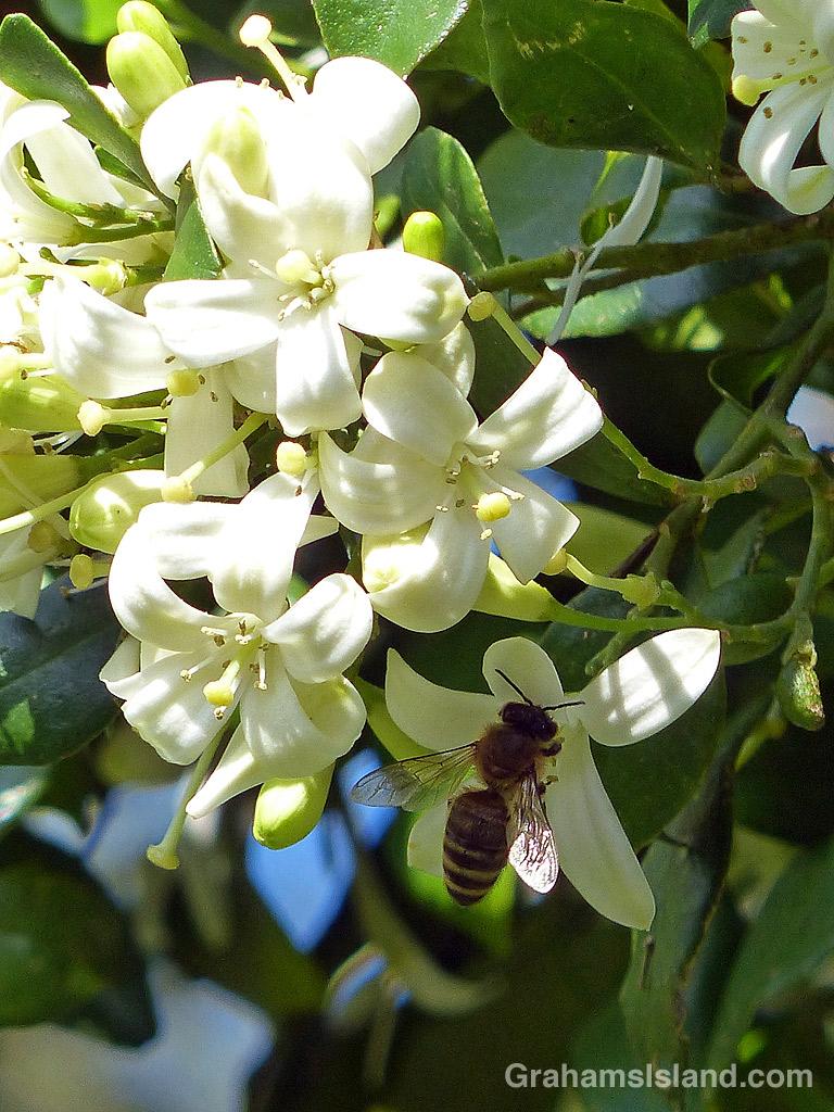 Bee on a mock orange