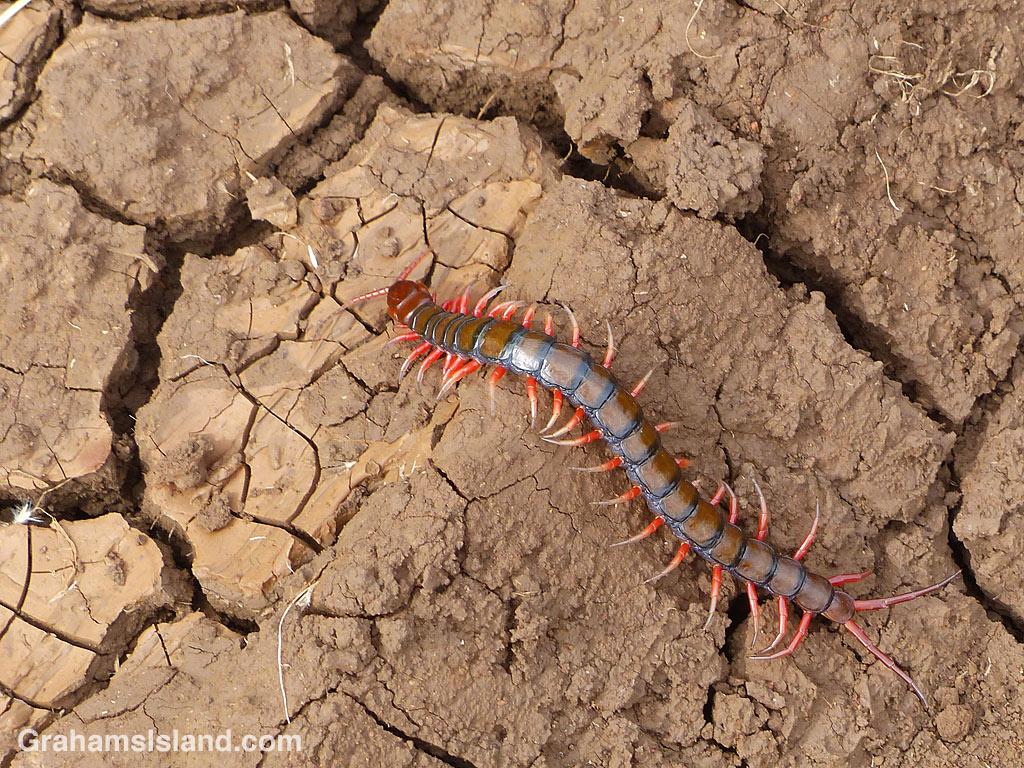 Centipede Scolopendra subspinipes