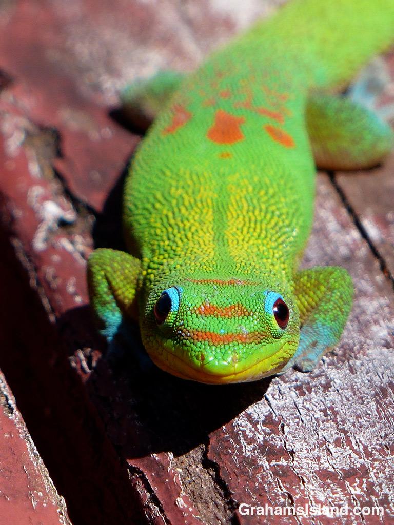 Gecko smile