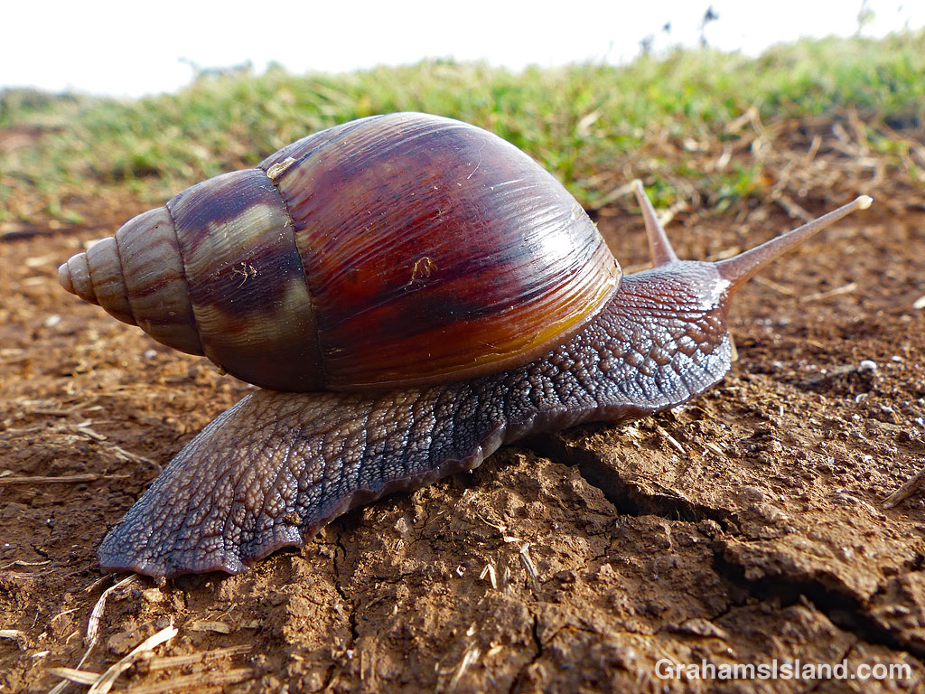 Giant African Land Snail on the move