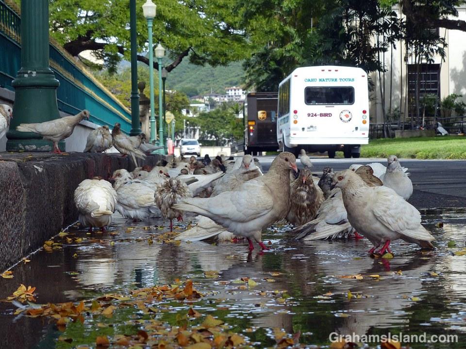 Pigeons drinking in Honolulu
