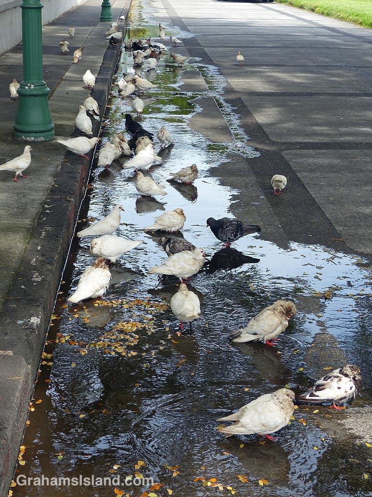 Pigeons in Honolulu
