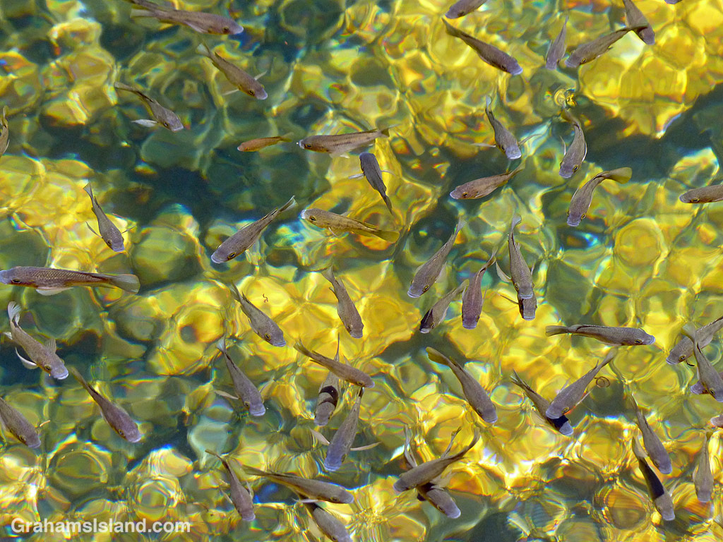 Abstracts-Painterly fish