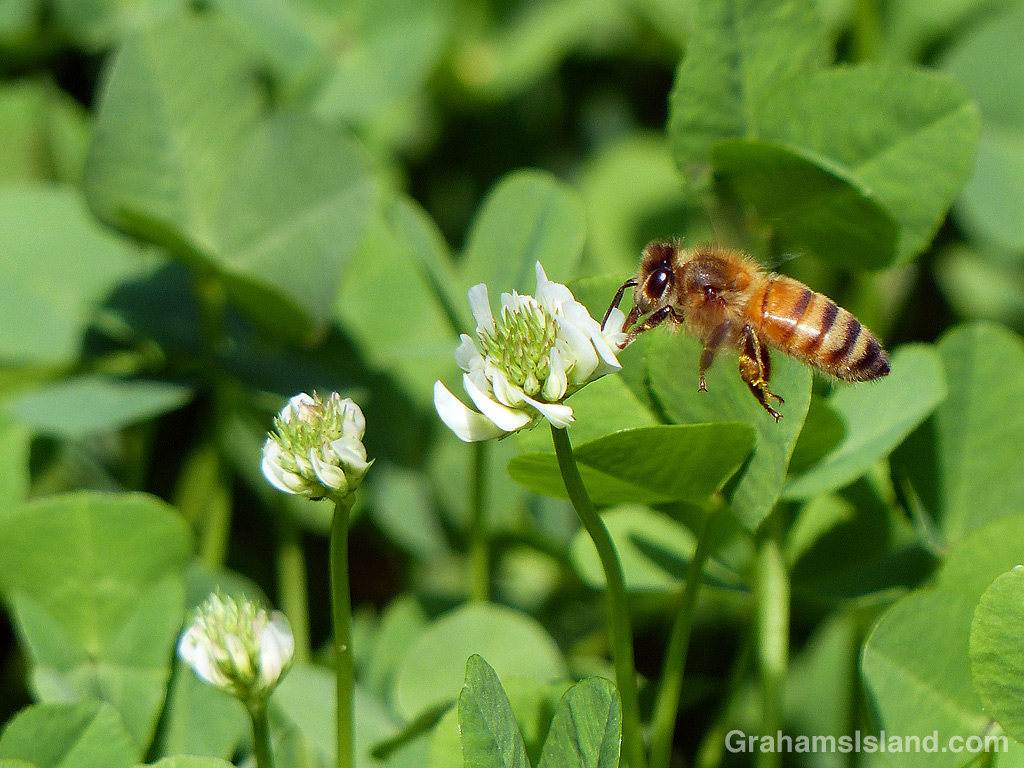 Bee flying to clover
