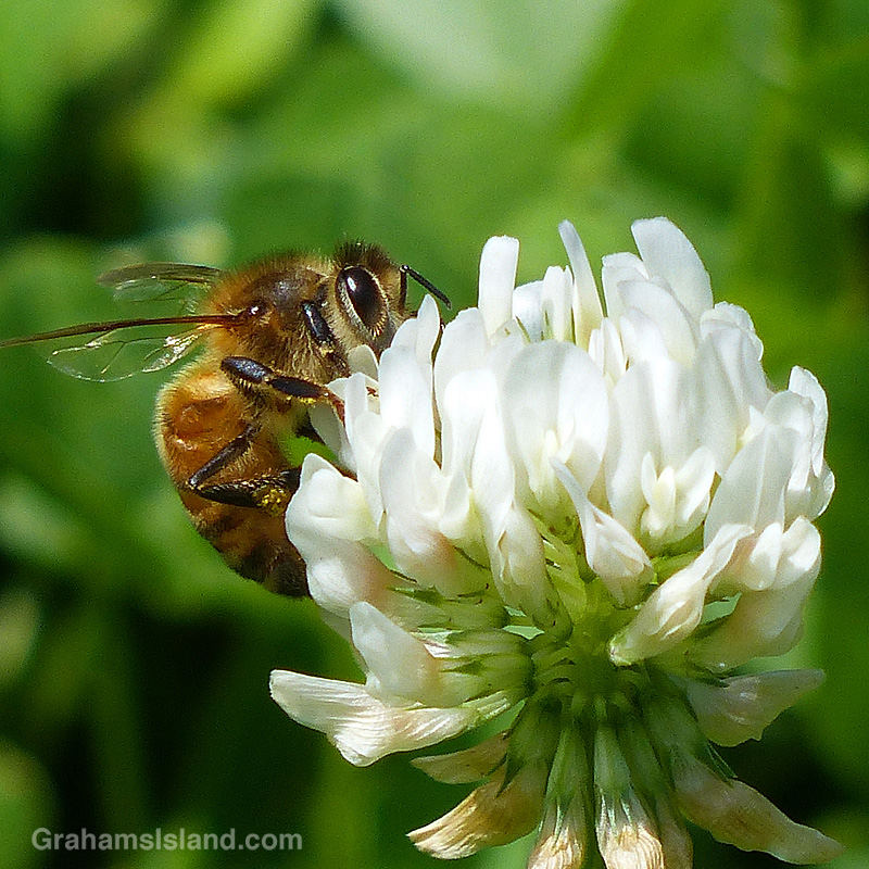 Bee on clover flower