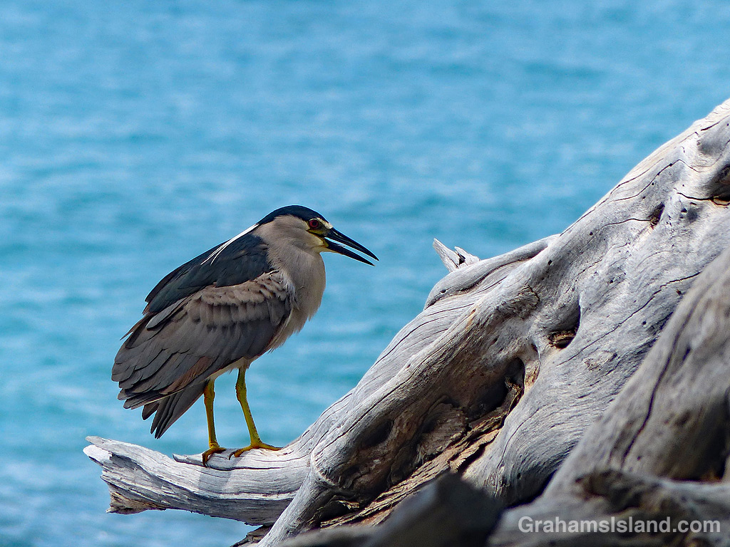 Black crowned Night Heron on old tree