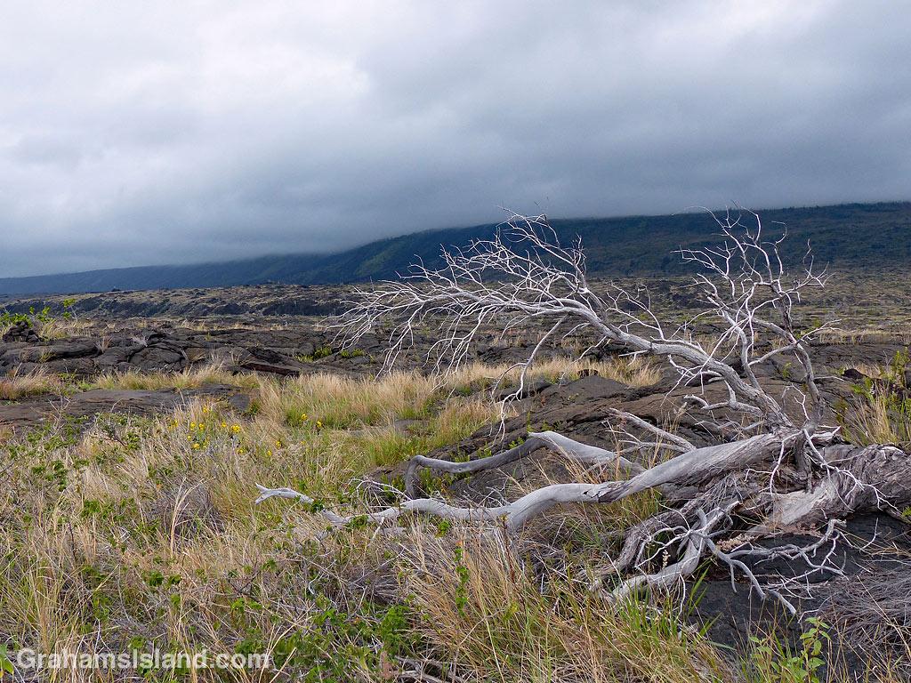 Dead tree in the lava