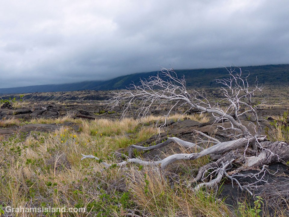 Dead tree in the lava
