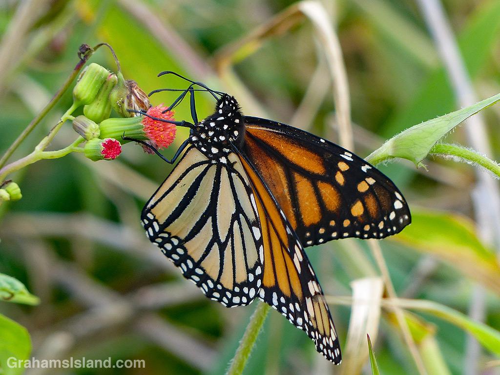 Monarch butterfly on tasselflower