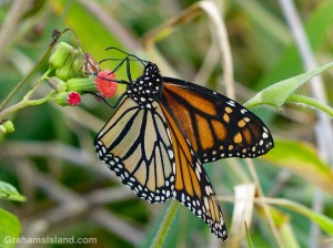 Monarch butterfly on tasselflower