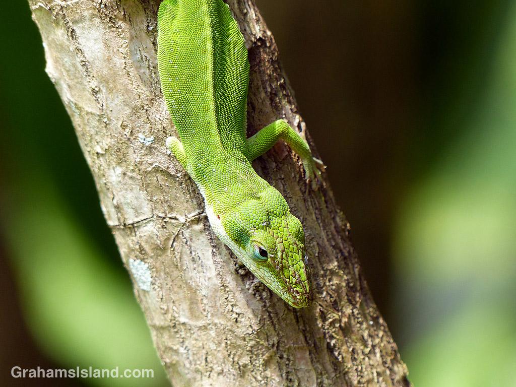 Three-legged green anole