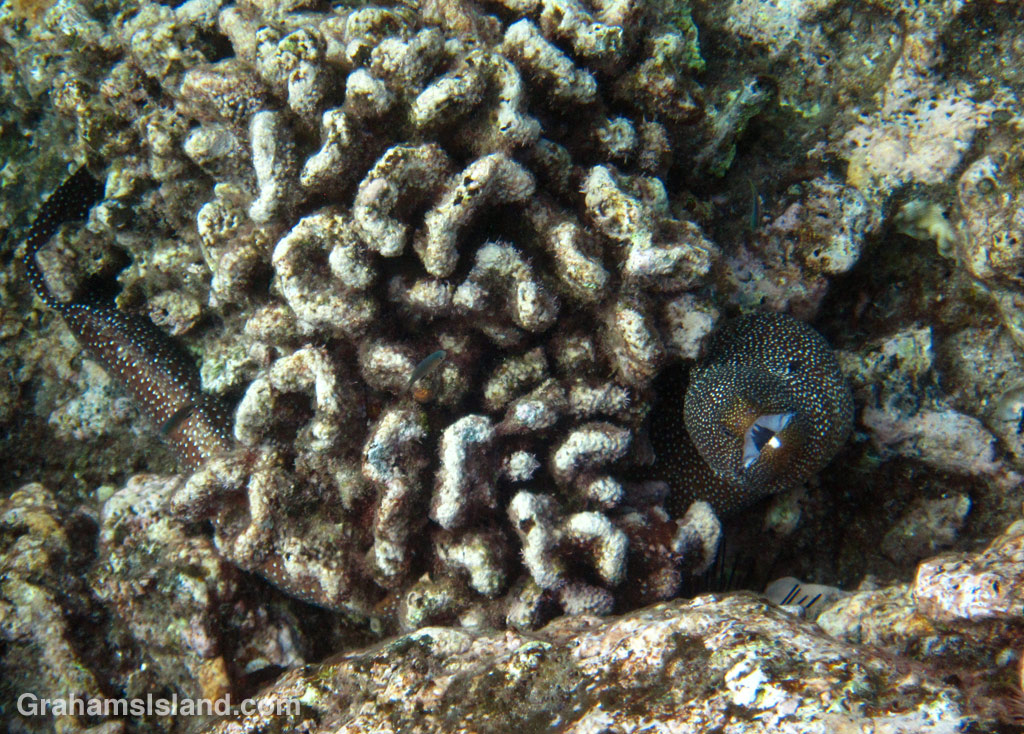 Whitemouth Moray Eel in dead coral