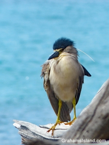 Black-crowned Night Heron with fuzzy head