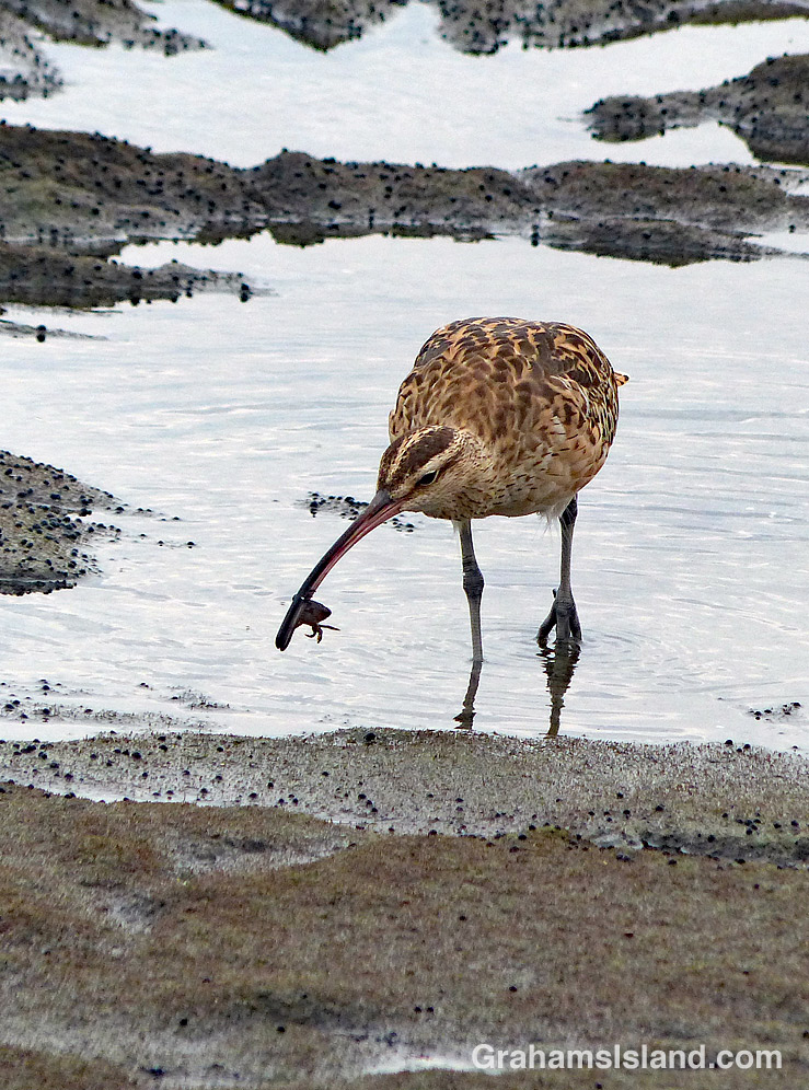 Bristle thighed Curlew finds a small crab