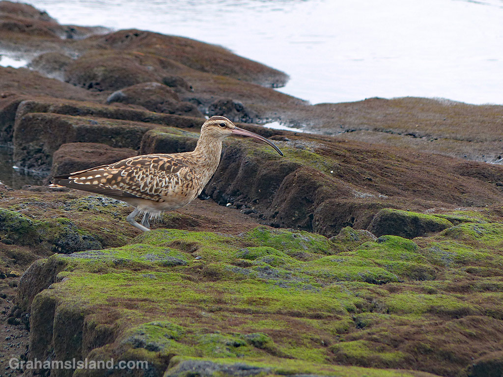 Bristle thighed Curlew walks on the coast