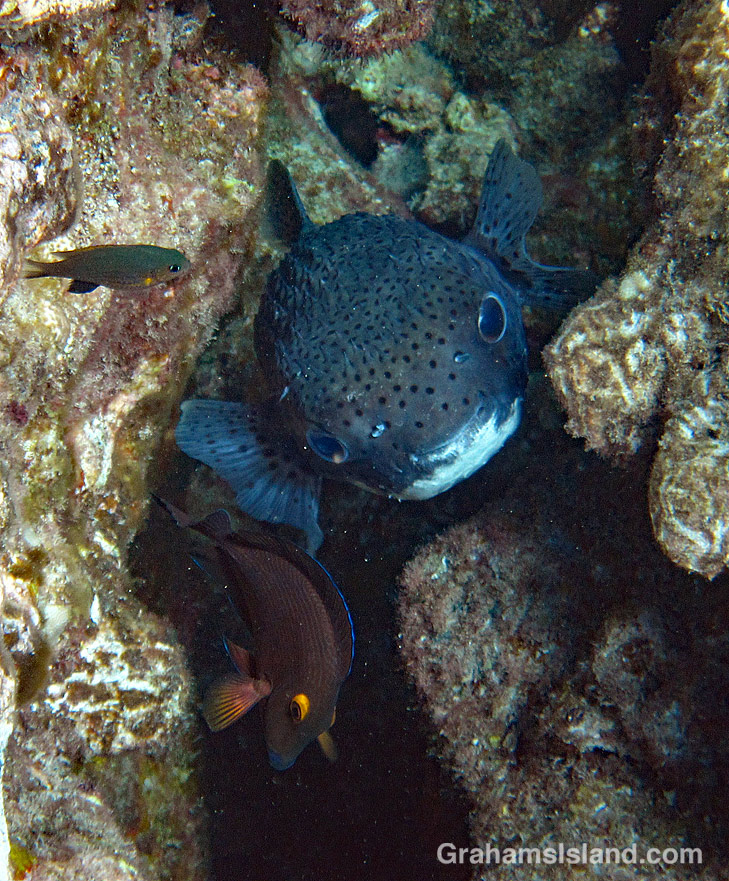 Giant Porcupinefish with Blackfin Chromis and Goldring surgeonfish