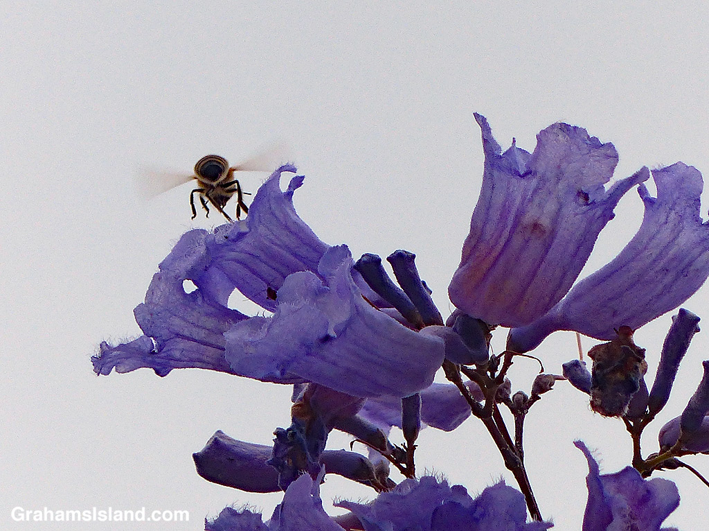Jacaranda flowers and bee