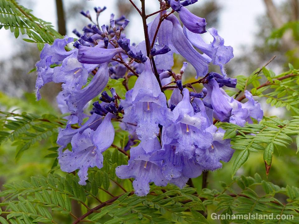 Jacaranda flowers cluster