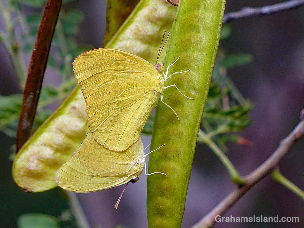 Large Orange Sulphur Butterflies mating