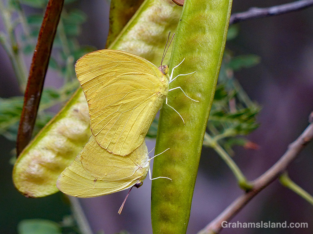 Large Orange Sulphur Butterflies mating