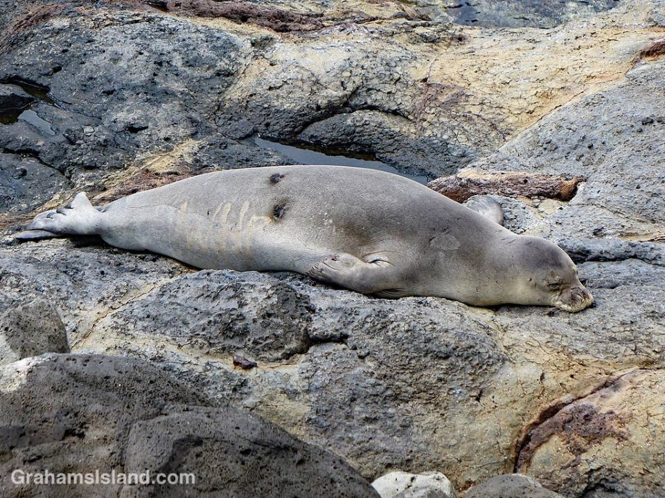 Monk seal scars